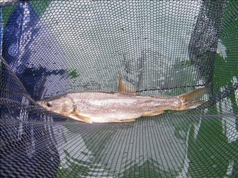 northern squawfish sharphookscom fishing forum